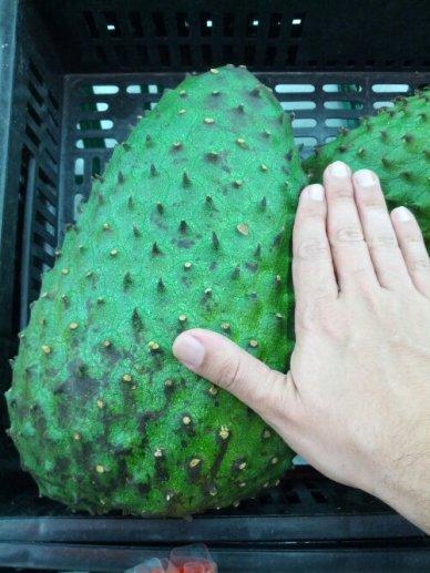 A small size Guanábana